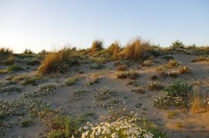 Le dune tipiche di Maremma (Foto Capitan Bonaccia)